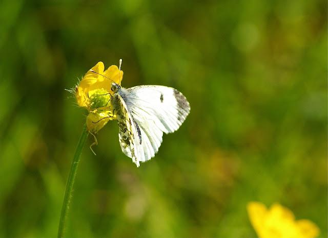 Anthocharis cardamines LINNAEUS, 1758, femelle. Hautes-Lisières (Rouvres, 28), 21 avril 2011. Photo : J.-M. Gayman
