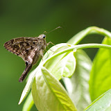 Hesperiidae : Urbanus dorantes dorantes (STOLL, [1790]). Piste de Coralie, 30 octobre 2012. Photo : J.-M. Gayman