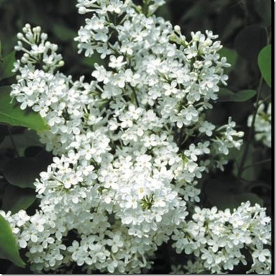 Betsy_Ross_Lilac_Cluster[1]