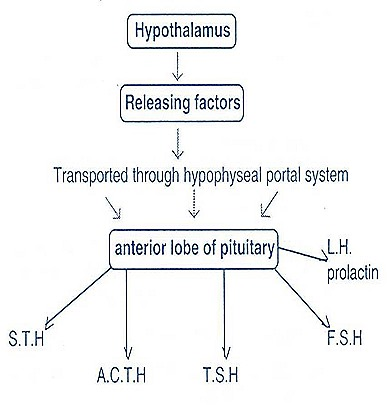 pituitary gland-hypothalamus-endocrine glands