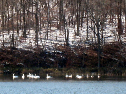 Swans on the west edge of Little Sugarbush