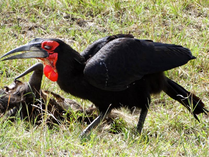 Картинки по запросу Кафрский рогатый ворон