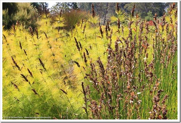 160813_UCSC_Arboretum_Elegia-capensis_003