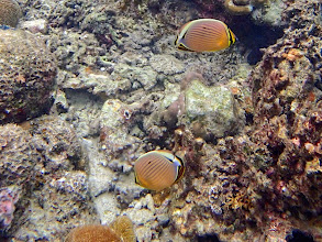Photo: Chaetodon lunulatus (Oval Butterflyfish), Miniloc Island Resort reef, Palawan, Philippines.