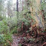 Gum tree near Erskine creek (150288)