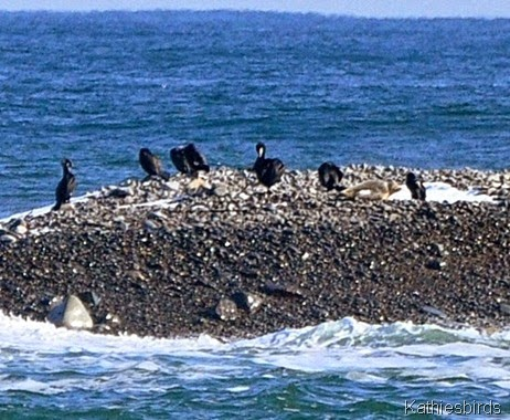 6. great cormorants-kab