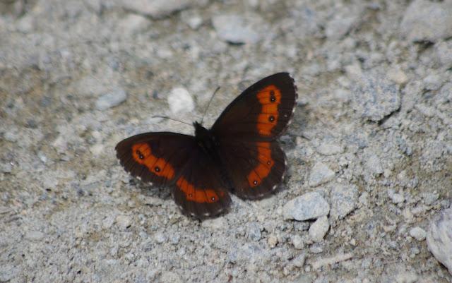 Erebia ligea (L., 1758), mâle. Surlej, Silvaplana, 1950 m (Engadine, Grisons, CH), 13 juillet 2013. Photo : J.-M. Gayman