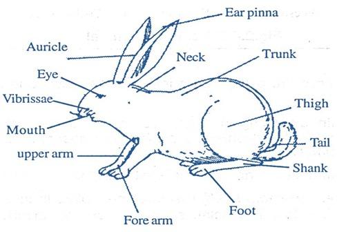 mallals-rabbit