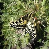 Papilio machaon oreinus SHELJZUKHO, 1919. Baybiche Tau, 18 km au Sud d'Uchkun (2350-2400 m), Kyrgyzistan, 18 juillet 2009. Photo : J. Ouvaroff