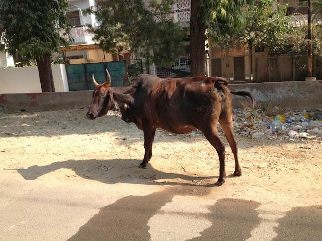 Bull, Agra