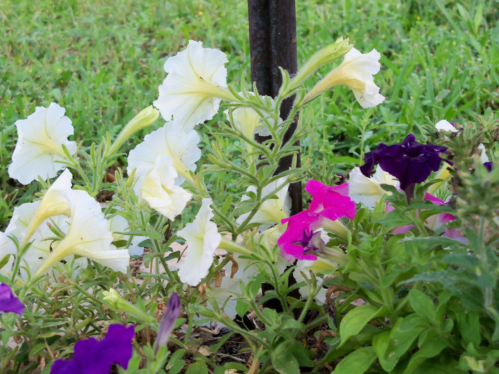 Gardening 2012 - 115_1629.JPG