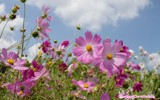 What Causes Cosmos Not Flowering