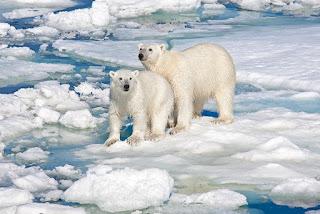 Če bo res sreča mogoče tudi polarni medved