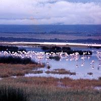 69 flamingos Nakuru.jpg
