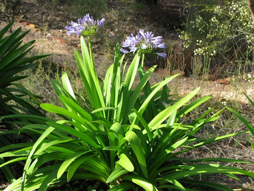 "An agapanthus at Thubten Shedrup Ling in Australia had an unusual mid-winter flowering. It's located outside the door of the room where Lama Zopa Rinpoche stayed during the April Retreat and where he regularly performed Sur offerings or aroma charity for spirits. ""We hope this is an auspicious sign concerning Rinpoche,"" TSL says."