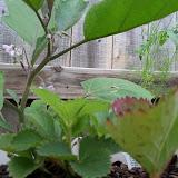 Gardening 2010, Part Two - 101_2414.JPG