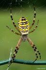 Wasp, spider? Wasp spider!