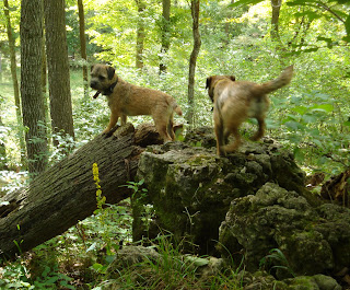 Border Terriers doing what they do best!