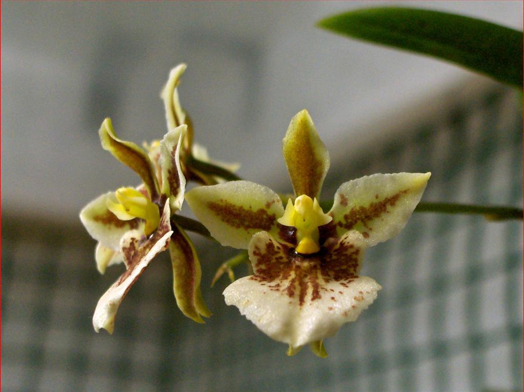Orchidee in fiore tolumnia triquetra fioritura inaspettata for Orchidea fioritura