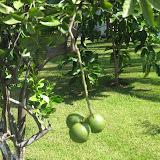 Tree Fruit - IMG_0909.JPG