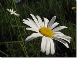 margaritas flores (48)