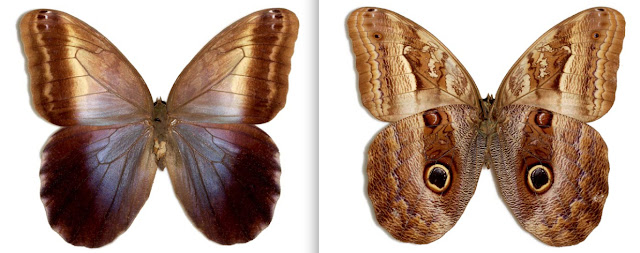 Caligo oedipus oedipus ♀ Colombie : Villavicencio [MGCL]. http://butterfliesofamerica.com/L/imagehtmls/Nymph/Caligo_oedipus_oedipus_F_COL_Villavicencio-MGCL-0045_i.htm