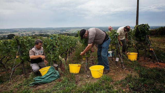 2013 vendanges du chardonnay - 2013%2B09%2B28%2BGuimbelot%2Bvendanges%2Bdu%2BChardonnay%2B127.jpg