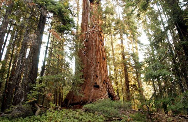 A giant sequoia tree dwarfs the surrounding forest along the Trail of the 100 Giants which was threatened by the out-of-control McNally Fire on 25 July 2002 in the Sequoia National Monument north of Kernville, California. Photo: David McNew / Getty Images