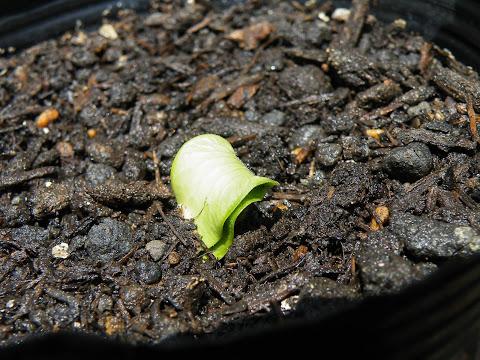 昨日から発芽し始めたカボチャ