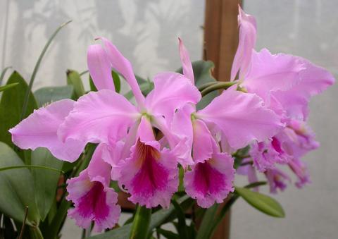 Растения из Тюмени. Краткий обзор - Страница 2 Cattleya%252520jenmanii%2525201
