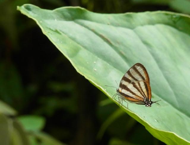 Arawacus separata (Lathy, 1926). Cascade entre Cachipay et San Rafael, à l'est de Santa María en Boyacá, 890 m (Boyacá, Colombie), 18 novembre 2015. Photo : J. Michel