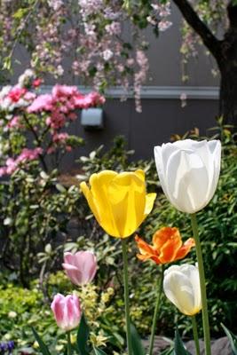 20140421_tulip.jpg