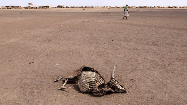 A man walks near a carcass of a dead cow in Farado Kebele, one of drought stricken Somali region in Ethiopia. Drought is ravaging Ethiopia's Somali region. Photo: Tiksa Negeri / Reuters