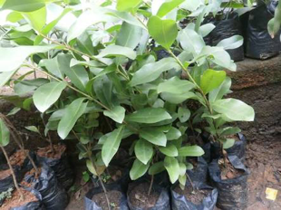 bibit pohon tanaman jamblang