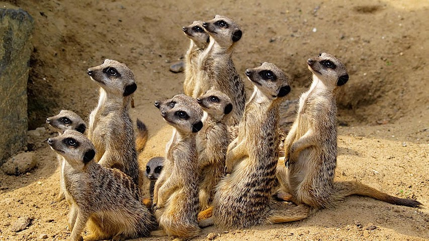 android Animals.Suricate.LiveWallpaper Screenshot 6