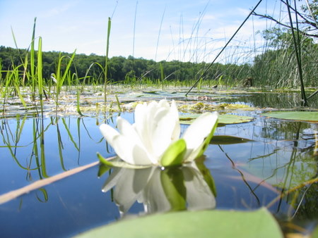 Water lily on the shores of Little Sugarbush, the lake Maplelag is next to.