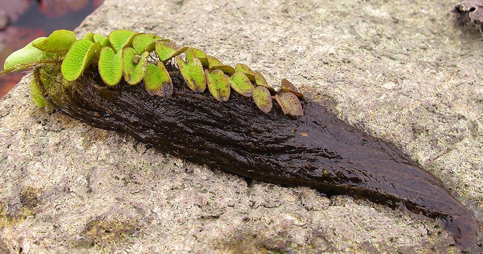 Сальвиния врожденная (Salvinia adnata)