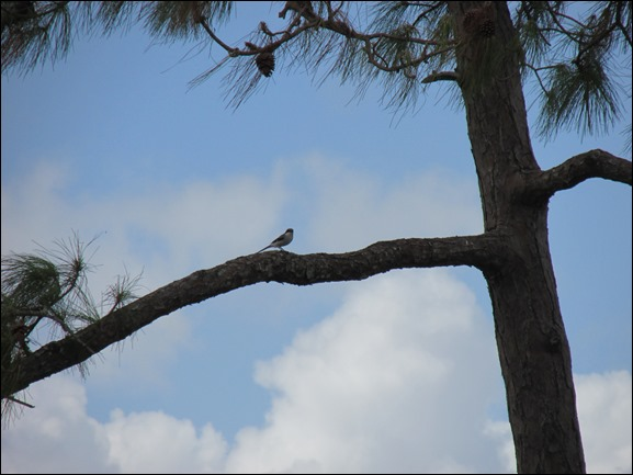 Loggerhead Shrike Bird (1)