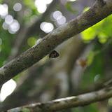 Callicore pitheas (Latreille, [1813]). Fundo Palmarito, 265 m (Yopal, Casanare, Colombie), 7 novembre 2015. Photo : J.-M. Gayman