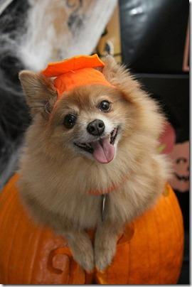 disfraces divertidos para perros  (16)