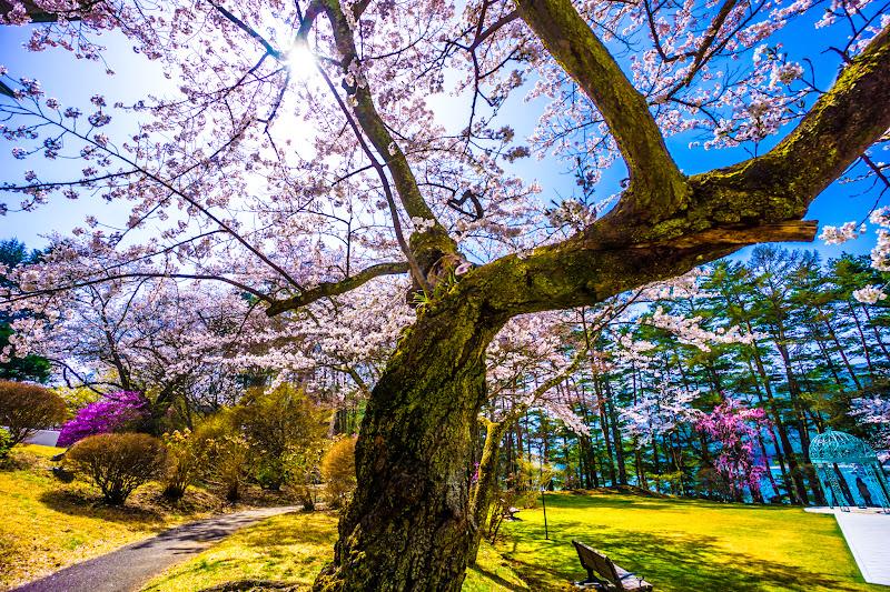 富士ビューホテル 桜 写真22