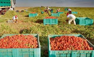 Collecte de la tomate industrielle sur fond de tensions