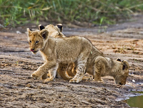Lion Cubs, South Africa