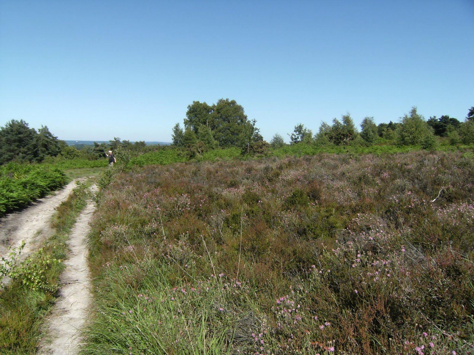 DSCF8742 Summer heather on Ashdown Forest