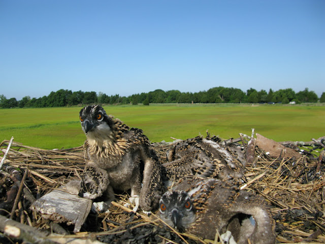 Osprey Banding - Pictures%2B085.jpg