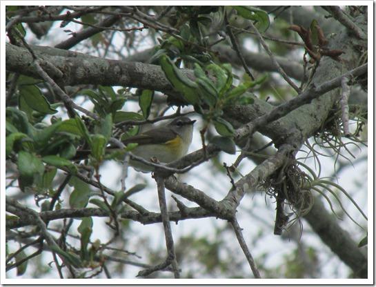 2017-05-05 Florida, Stuart - American Redstart Bird (16)