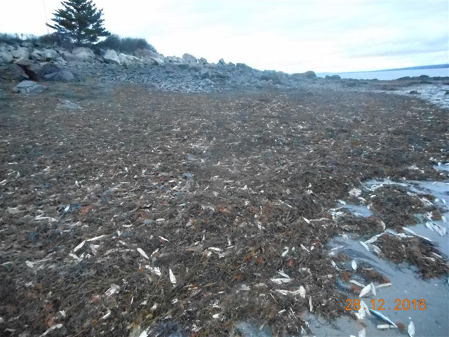 Mass herring kill found by DFO C&P officers in Southwest Nova Scotia, 28 December 2016. Photo: DFO Maritimes / Twitter