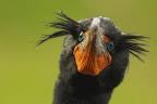 CA BALANCE ! Le cormoran à aigrettes est le plus répandu des cormorans américains