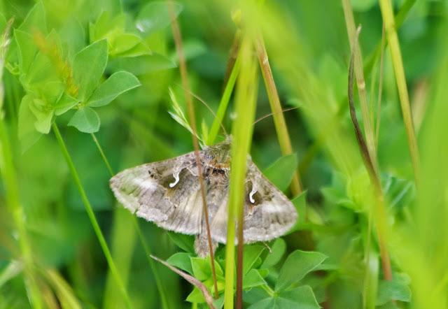 Noctuidae : Plusiinae : Autographa gamma (LINNAEUS, 1758). Les Hautes-Lisières (Rouvres, 28), 10 juin 2013. Photo : J.-M. Gayman