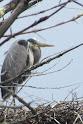 Heron Colony at Libby Hill-027.JPG